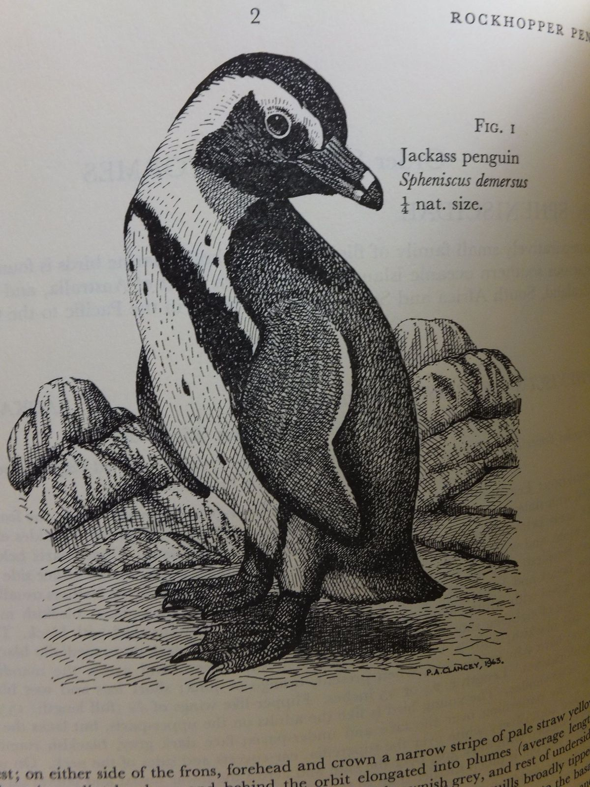 Photo of THE BIRDS OF NATAL AND ZULULAND written by Clancey, P.A. illustrated by Clancey, P.A. published by Oliver & Boyd (STOCK CODE: 1807201)  for sale by Stella & Rose's Books