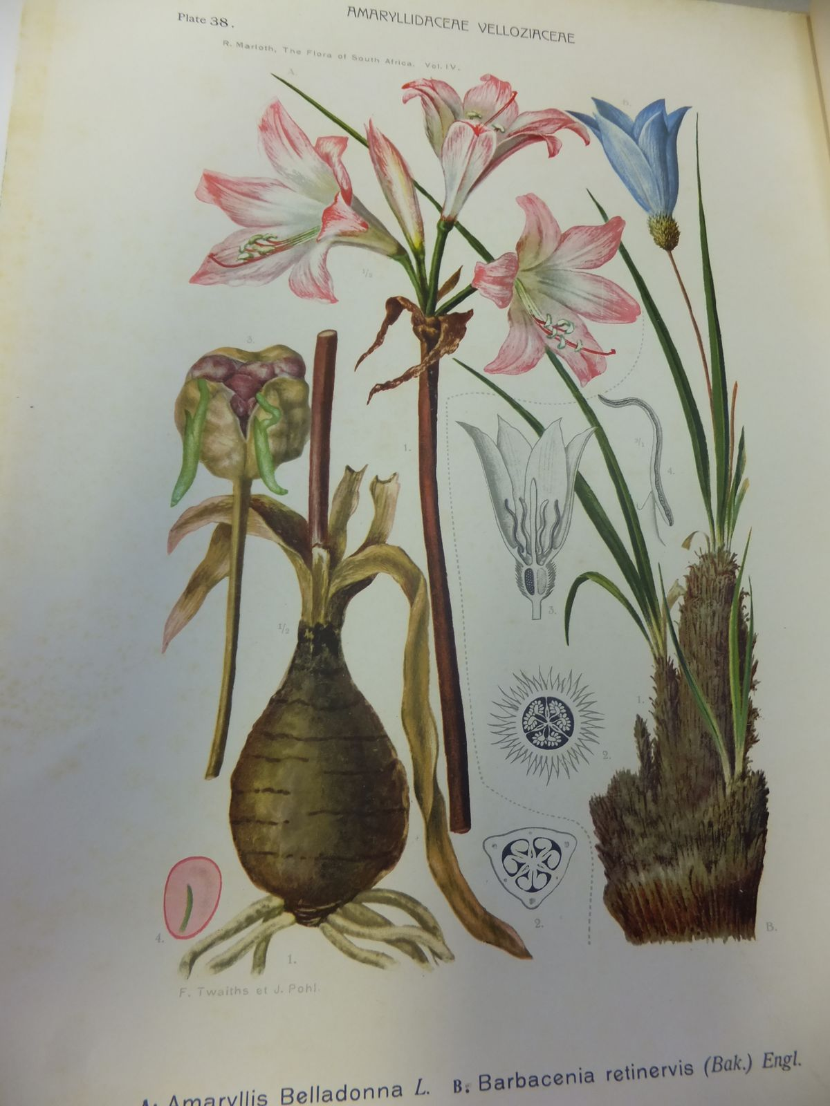 Photo of THE FLORA OF SOUTH AFRICA WITH SYNOPTICAL TABLES OF THE GENERA OF THE HIGHER PLANTS (6 VOLUMES) written by Marloth, Rudolf published by William Wesley & Son (STOCK CODE: 1809276)  for sale by Stella & Rose's Books