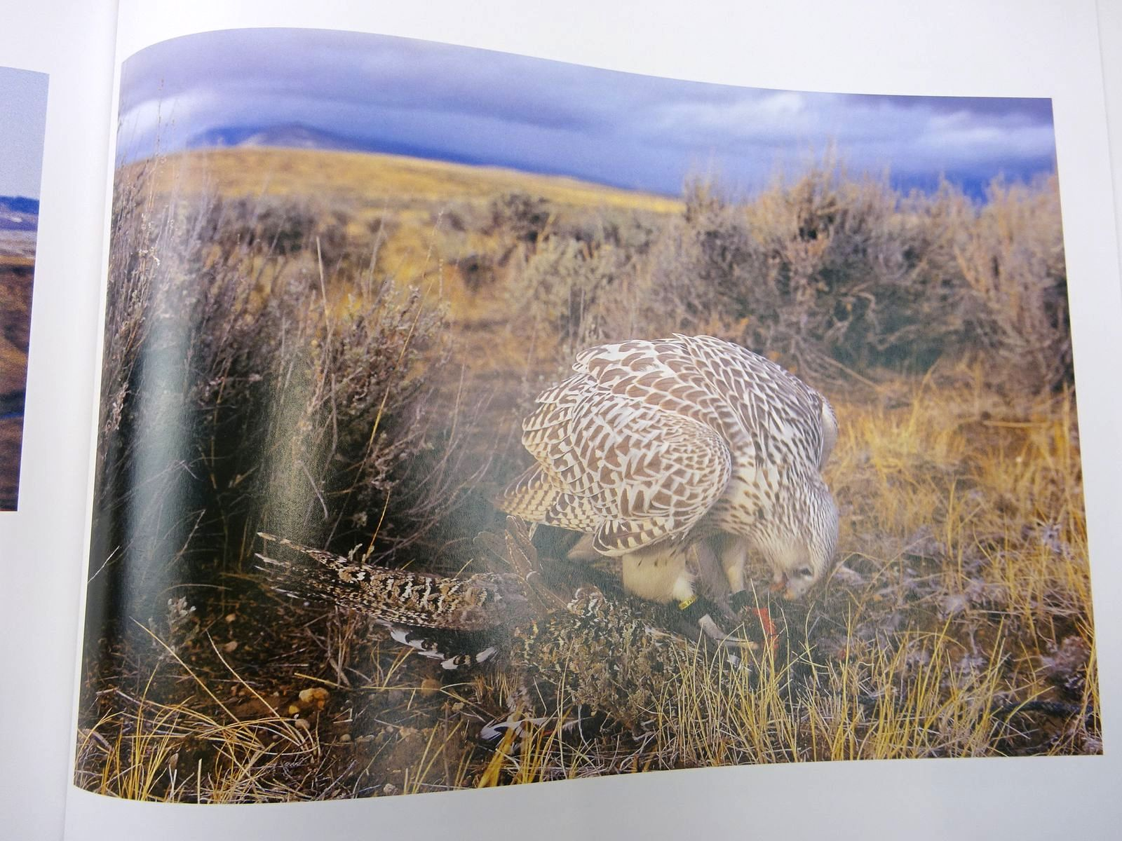 Photo of GYRFALCON written by Ford, Emma illustrated by Rhodes, Antony<br />Ellis, Andrew<br />et al., published by John Murray (STOCK CODE: 2128146)  for sale by Stella & Rose's Books