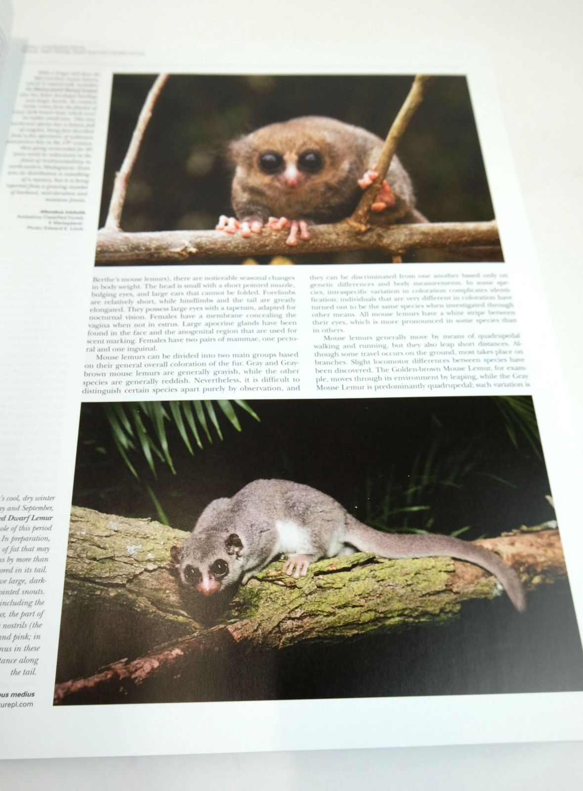 Photo of HANDBOOK OF THE MAMMALS OF THE WORLD 3. PRIMATES written by Mittermeier, Russell A.
