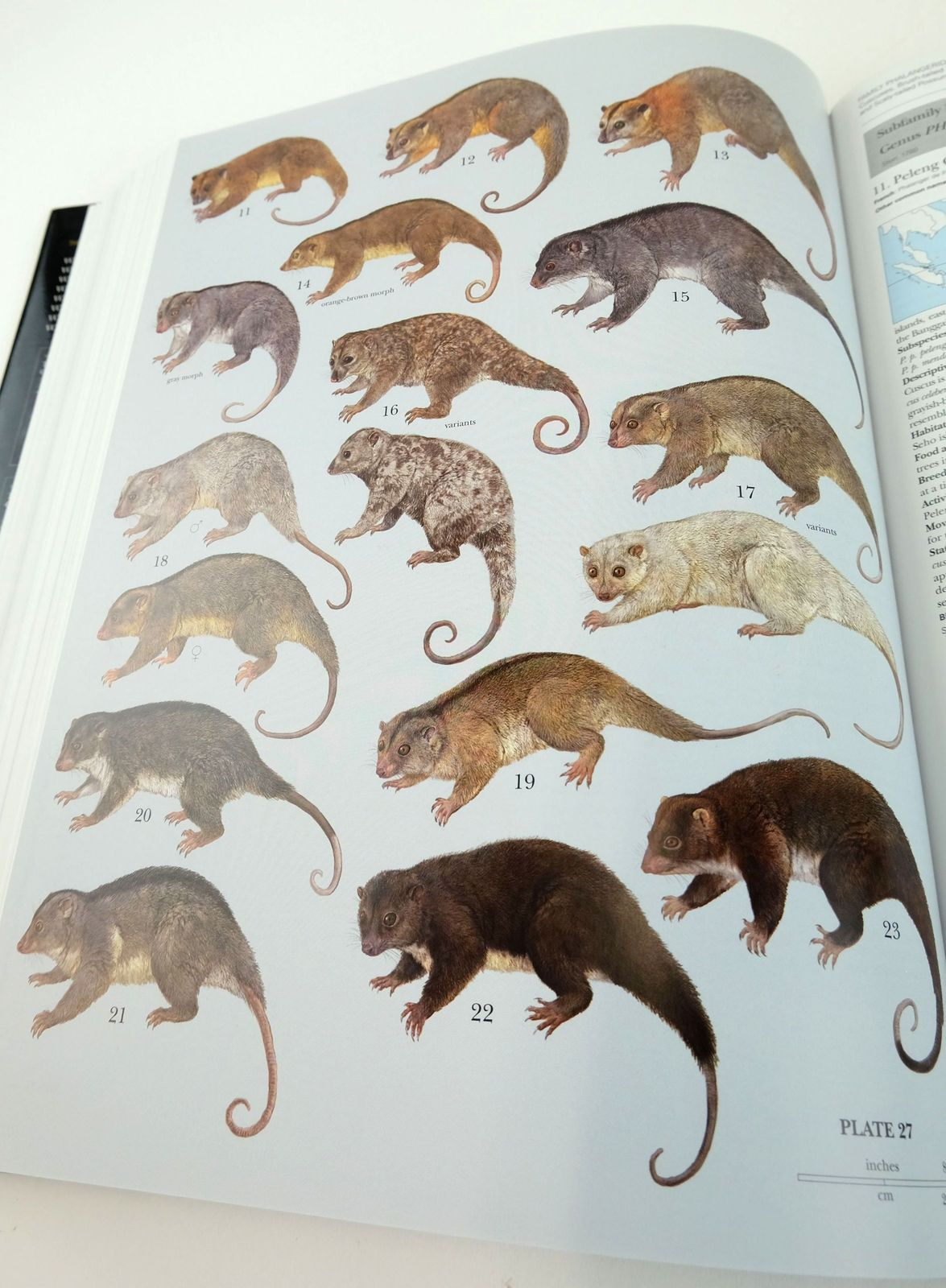 Photo of HANDBOOK OF THE MAMMALS OF THE WORLD 5. MONOTREMES AND MARSUPIALS written by Wilson, Don E. Mittermeier, Russell A. et al, published by Lynx Edicions (STOCK CODE: 1820161)  for sale by Stella & Rose's Books