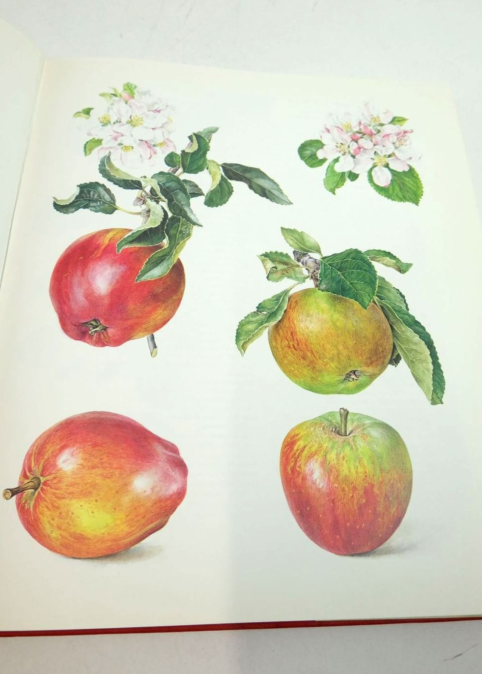Photo of THE ENGLISH APPLE written by Sanders, Rosanne published by Phaidon (STOCK CODE: 1822076)  for sale by Stella & Rose's Books