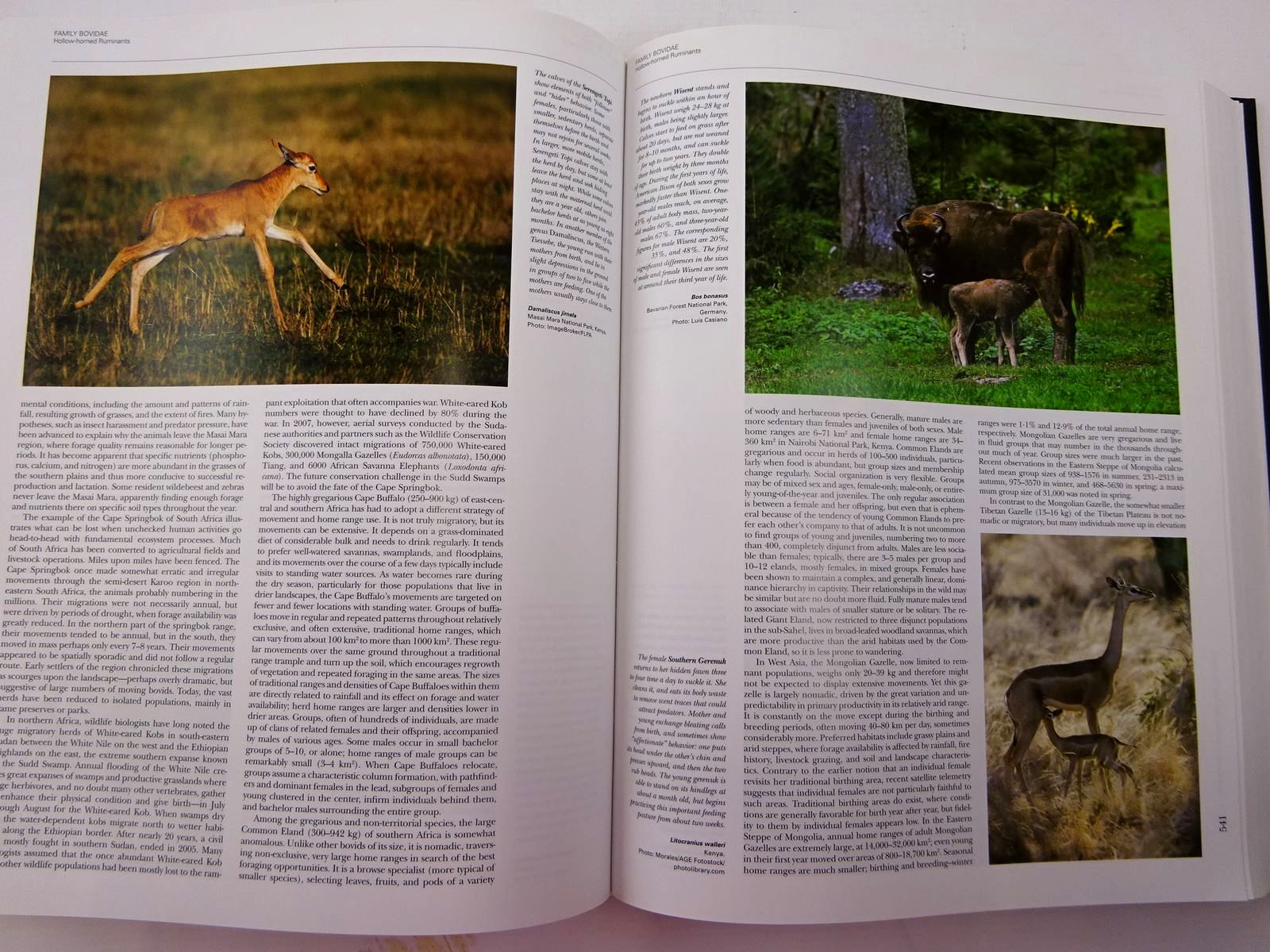 Photo of HANDBOOK OF THE MAMMALS OF THE WORLD 2. HOOFED MAMMALS written by Wilson, Don E. Mittermeier, Russell A. et al, published by Lynx Edicions (STOCK CODE: 2130636)  for sale by Stella & Rose's Books