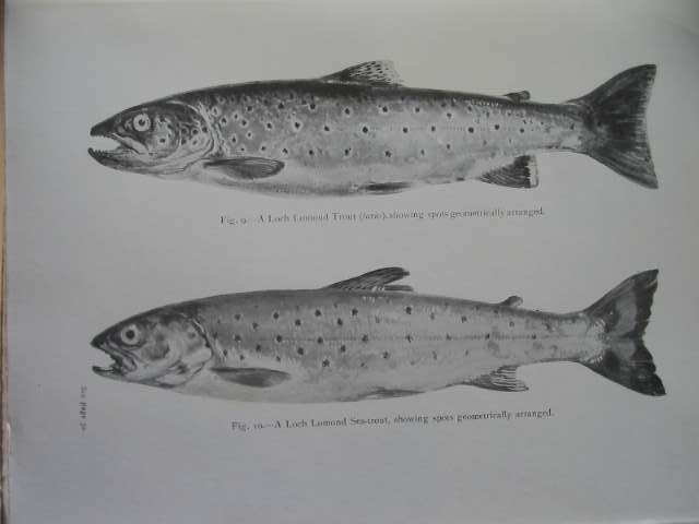 Photo of THE SEA-TROUT written by Lamond, Henry published by Sherratt & Hughes (STOCK CODE: 572617)  for sale by Stella & Rose's Books